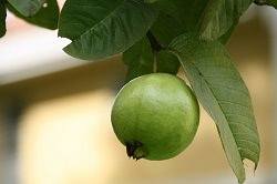 11 ailments you can treat by eating guavas health babamail the abundant astringent substances that contract body tissue makeup of raw guava and guava leaves helps loosen the bowels and can reduce the symptoms of ccuart Gallery