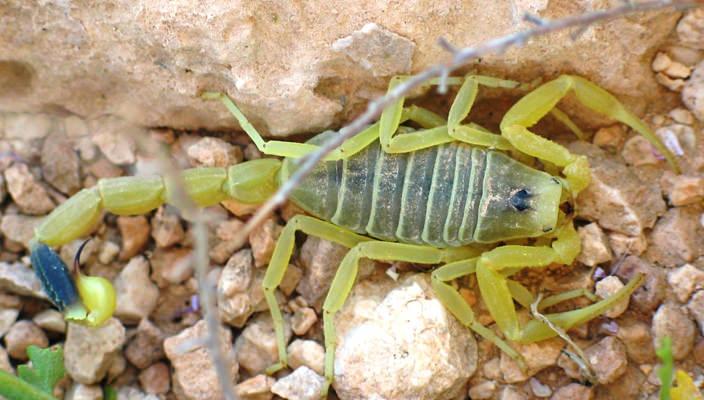 escorpion amarillo animales peligrosos