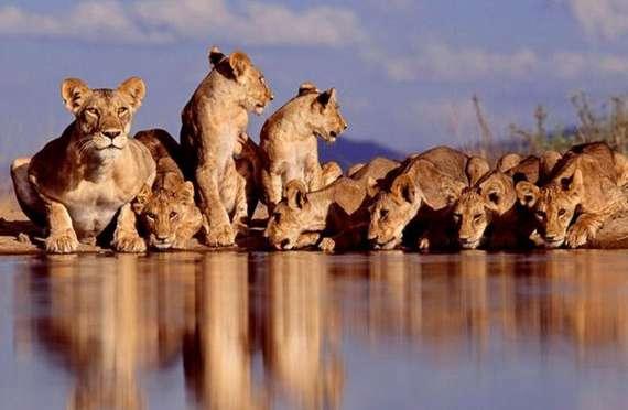 nature, animals, lion