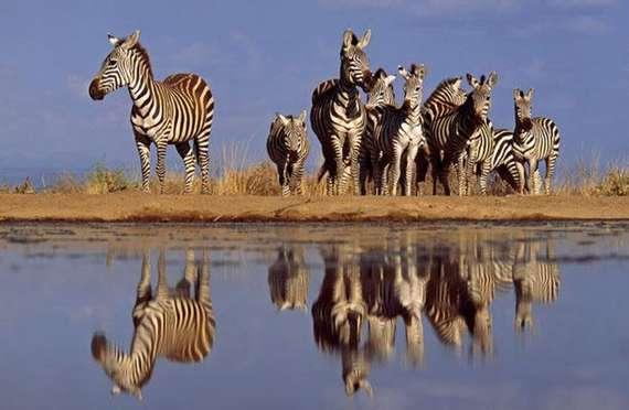 nature, animals, zebra