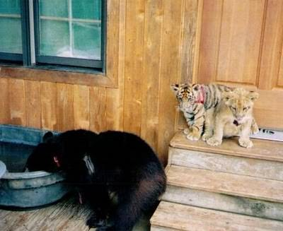 lion, tiger, bear