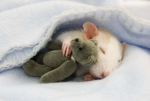 cute rat photos