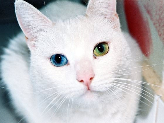 animal with different eye colors