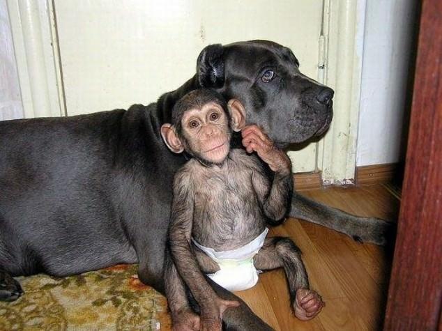 dog adopts chimp