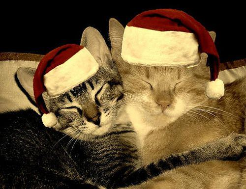 cat christmas photos
