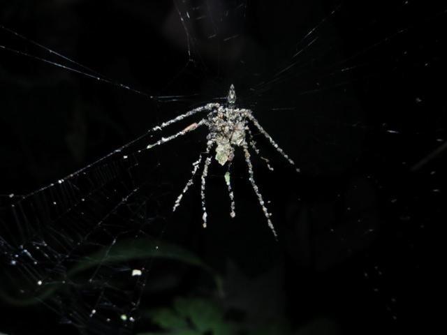 spider builds decoy