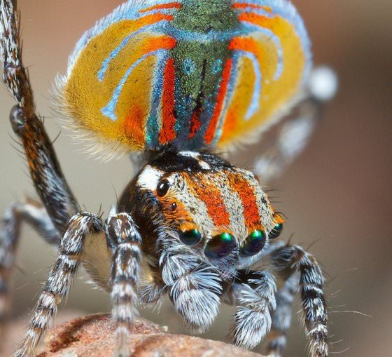 peacock spider's dance