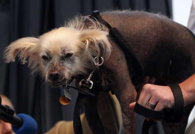 The World's Ugliest Dog Contest - Adorable!