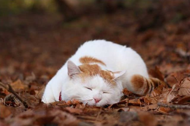 Meet Shironeko, The Laziest Cat in Japan. | Cute overload ...