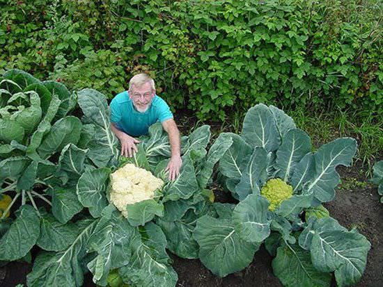 huge vegetables