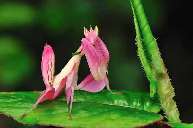 orchid mantis 5