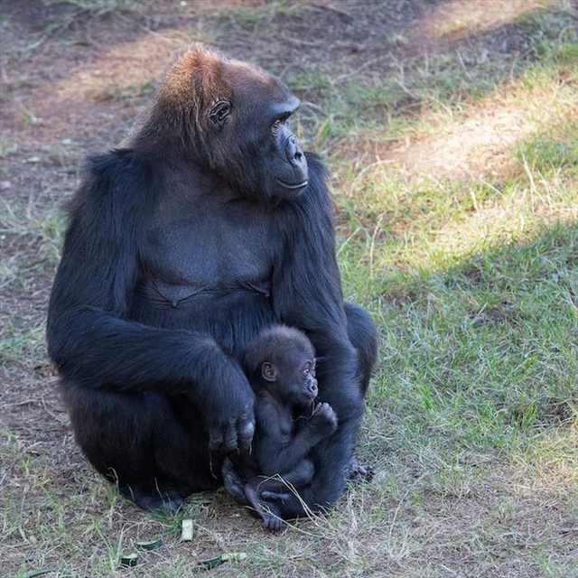 gorillasx