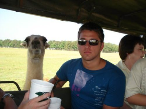 funny llama photos