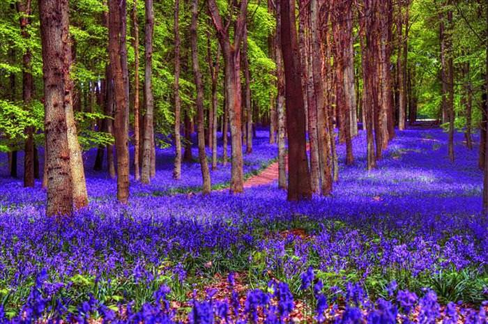 bluebell photos