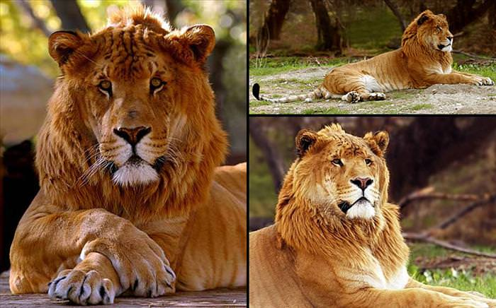 types of big cat hybrids