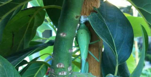 praying mantis birth