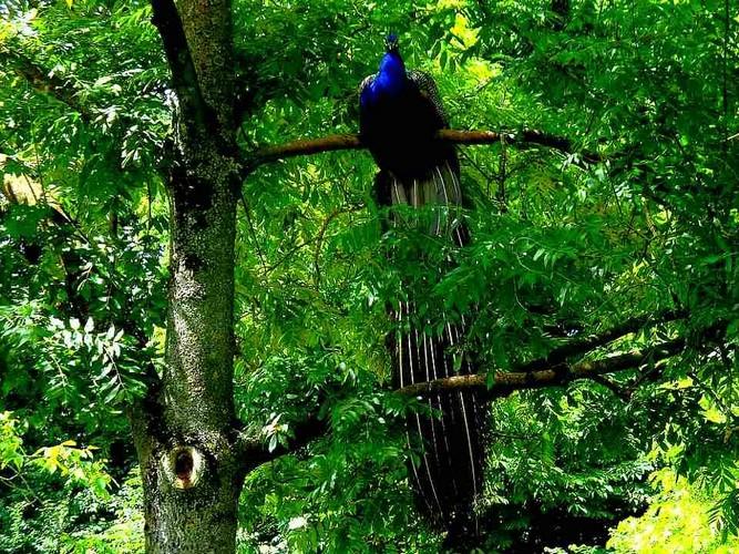 photo of peacock