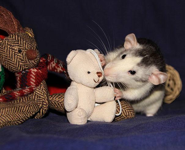 rats with teddys