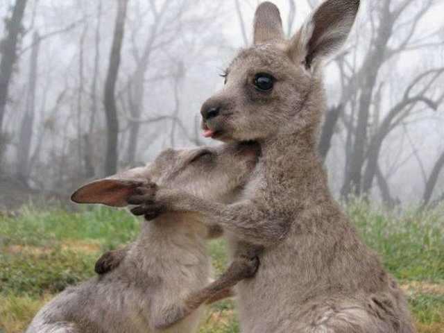 Kangaroo smile