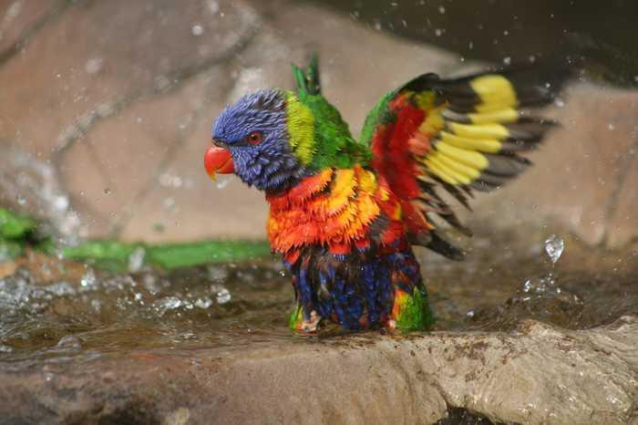animals colorful colourful most rainbow birds animal lorikeet australian loris periquito arco iris leenks amazingly davidson charlie