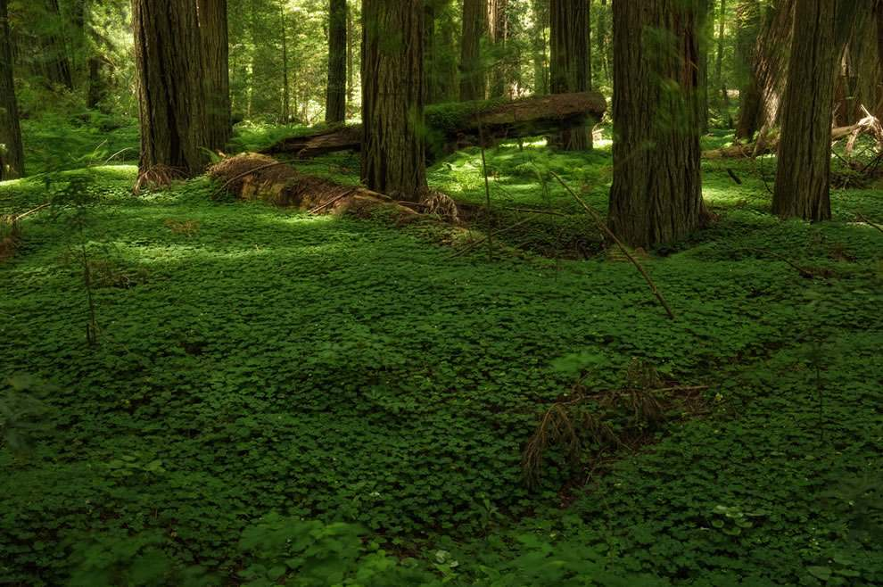 The giant sequoia trees of north america design for Forest floor definition