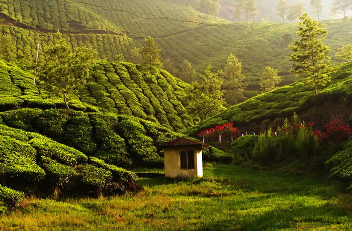 Have You Ever Wondered Where Your Tea Comes From?