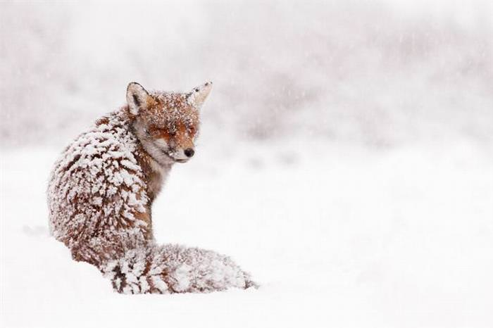 The Adorable European Winter Fox Frolicing in the Snow