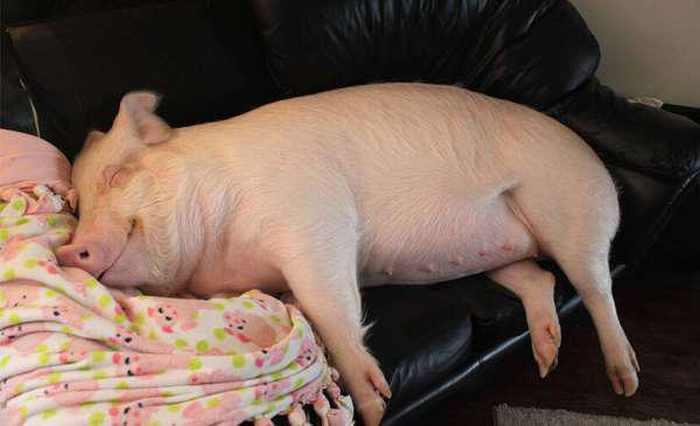 pig photos