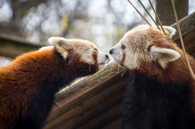 red panda photos