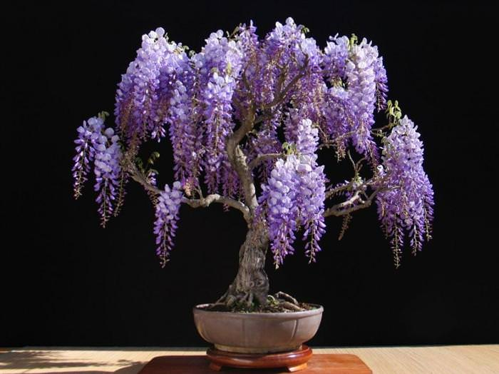 Beautiful bonsai trees nature babamail - Glicinia en maceta ...