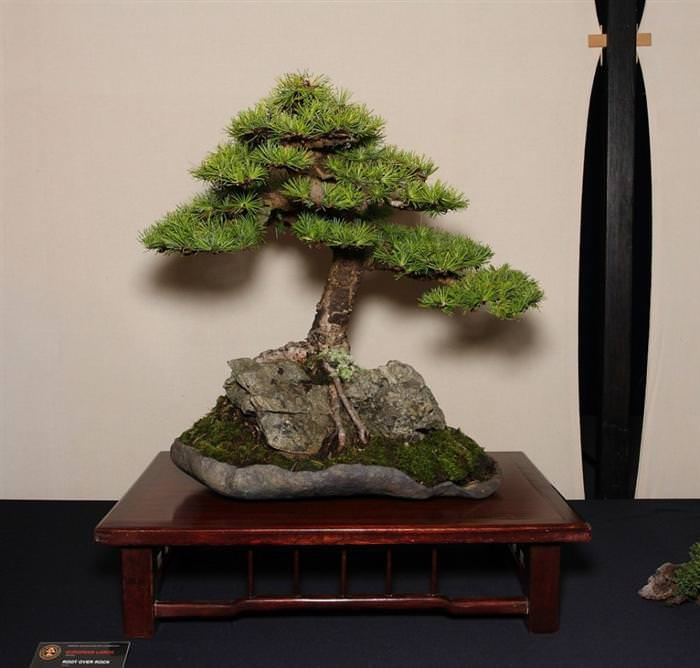 babamail 22 beautiful bonsai trees that redefine the name