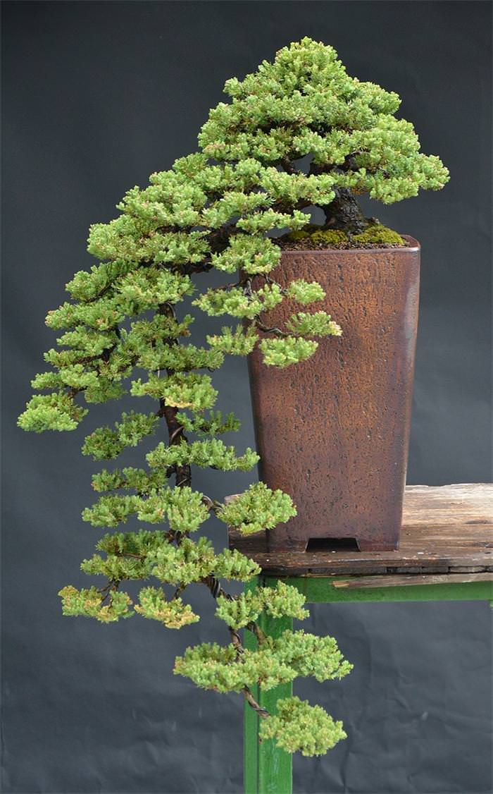 web idea 40 funonthenet 22 beautiful bonsai trees that