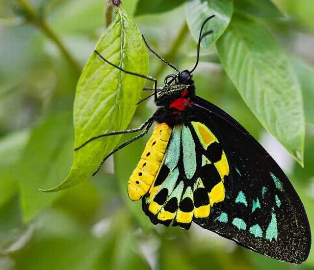 Marbled Balloons Rare Butterfly Species 23 rare butterflies that may go extinct soon ...