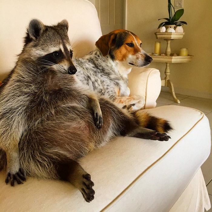 Orphaned Raccoon