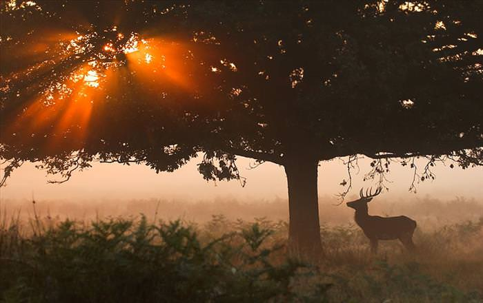 deer-richmond-park