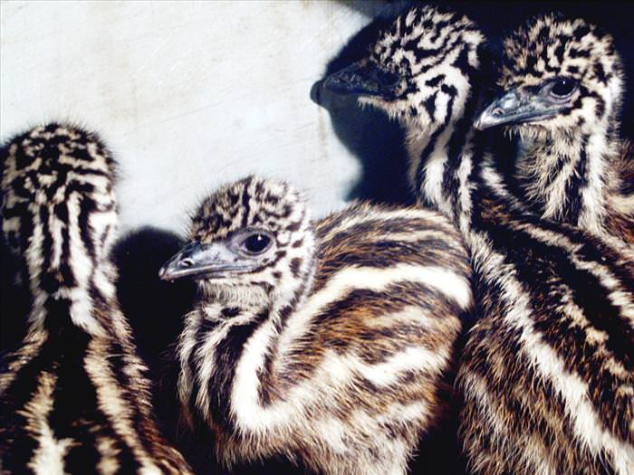 cute-australian-baby-animals
