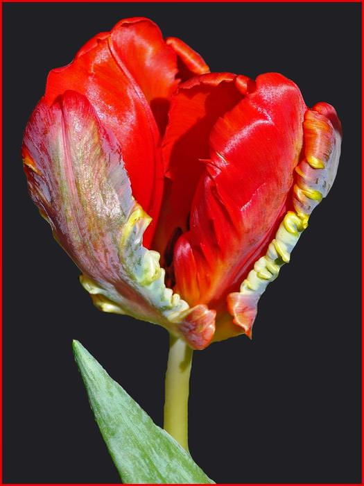 hybrid tulips