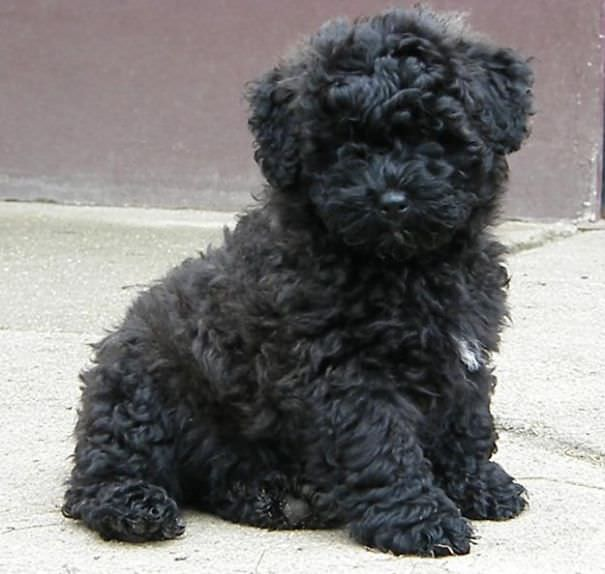 Fantastic Poodle Chubby Adorable Dog - 177305c4-8d74-4c02-9457-cf22090c914f  Best Photo Reference_652972  .jpg