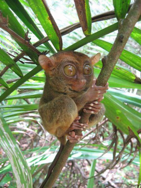tarsier primate photos