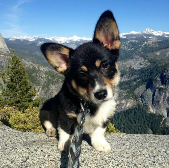 corgis photos
