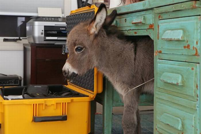 mini donkeys