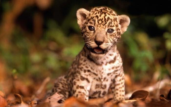 Baby Big Cats