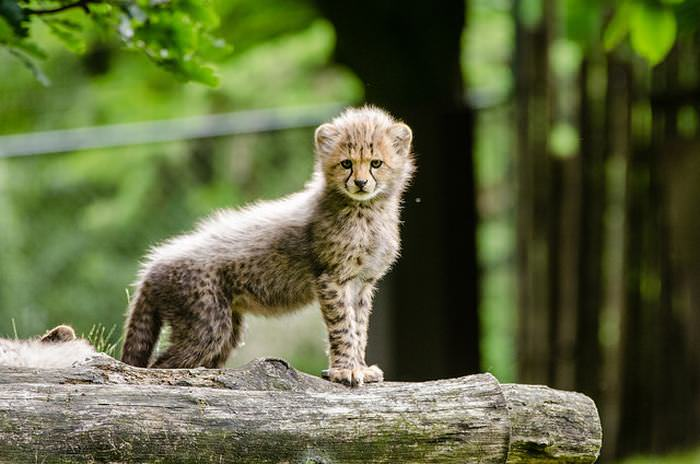 Photos Of Baby Big Cats Cute Overload Babamail
