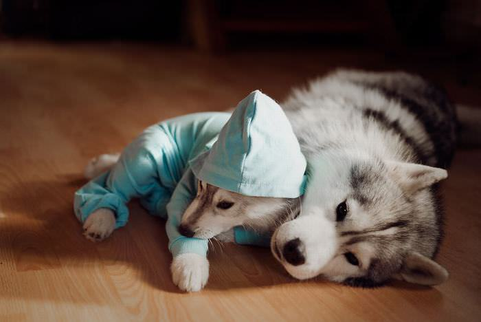 huskies dressed up