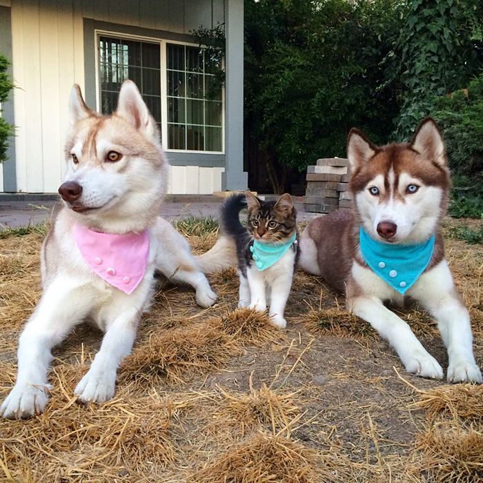 Amazing: This Kitten Was Adopted By A Husky!