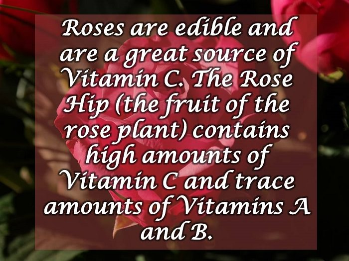 rose facts