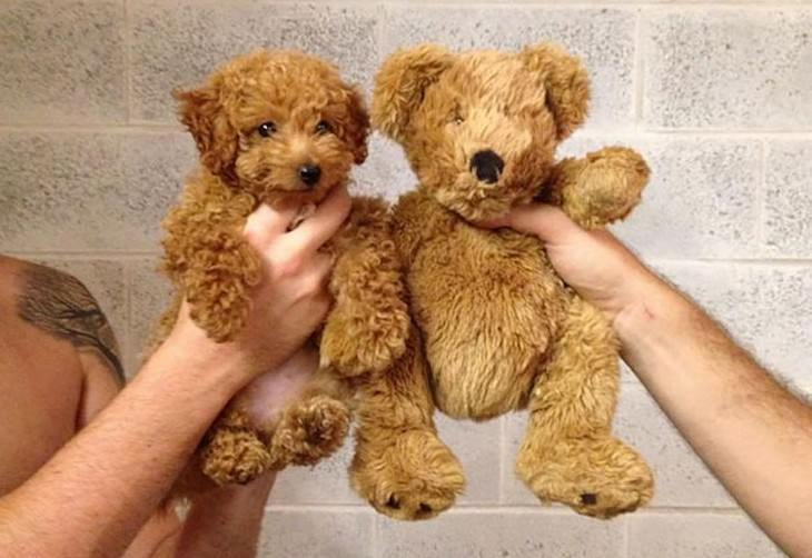 teddy bears, dogs, puppies, cute