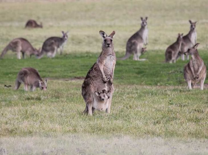 Whats a group of kangaroos called