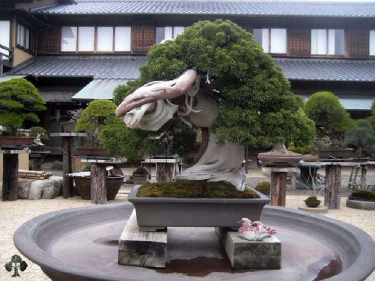 NAture - Bonsai Trees - Rare - Incredible