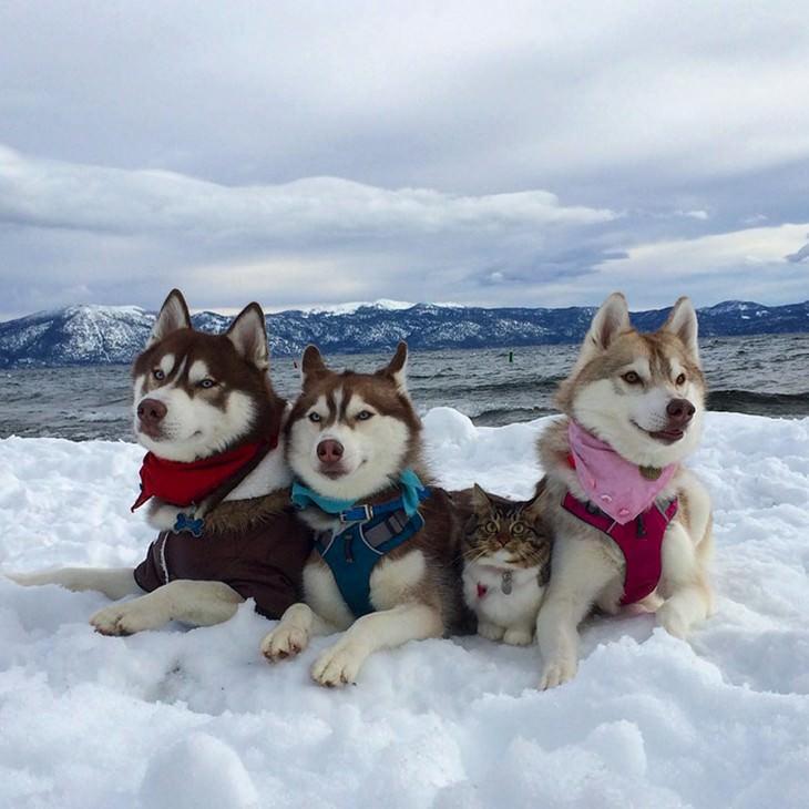 kitten, husky, cute, inspiring